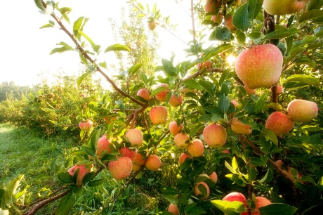 Bundoran Farm Conservation Community; Apple trees